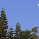 Moon above Araucaria May 24, 2018,                    Ray Caro