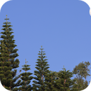 Moon above Araucaria May 24, 2018 - Lens 200 mm,                                Ray Caro