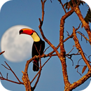 The Toco Toucan and the Moon,                                Odilon Simões Corrêa