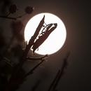 Full moon and mantis,                    David