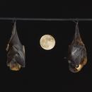 Bats Sleeping at Moonrise,                                astropical