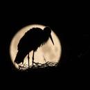 Stork at full moon,                                  Markus A. R. Lang...