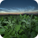 Noctilucent Clouds above patato field,                                Robin Mevert